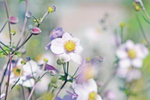 Japanese Anemones II by AlicjaRodzik