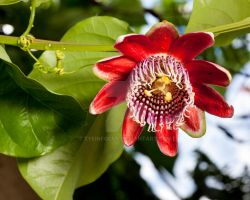 Passion Fruit by EyeInFocus