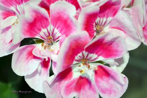Geranium by ChickensAndDucks