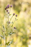 Faelight by Zanarky