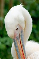 Pelican by PenguinPhotography