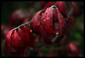 Wet Ruby by HarbingerPhotography