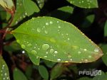 Droplets On The Leafs by pfgun0
