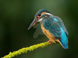 Neon Beauty - Common Kingfisher by Jamie-MacArthur