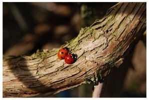 Ladybirds by QaysA