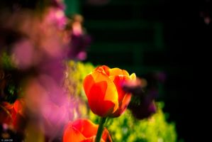.Tulips by Trianglis
