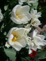 White Tulips by MusicIsMyLifeForever