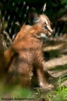 Baby Caracal by amrodel