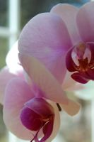 Close Up Orchid by Wataru12012