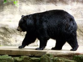 Black Bear Stock3 by Gnewi-Stock
