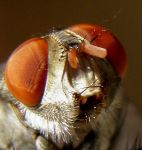 eyes  and mouth of housefly by kumarvijay1708