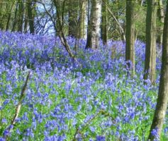 Bluebell Woods by Paddington-Owl