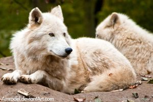 Arctic Wolf II by amrodel