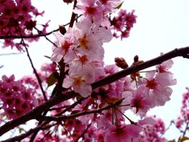Cherry Blossoms by Mikaluna93