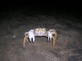 Ghost crab by ParanoidFreaksStock
