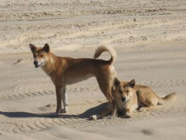Dingos on Fraser Island by DragonQueen13666