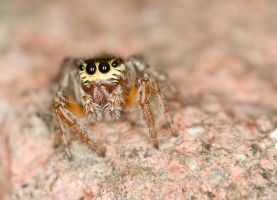 The Jumping Spider by Glenn0o7