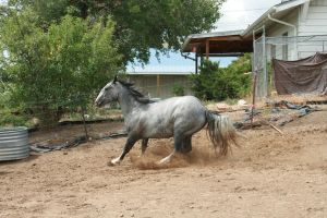 Blue Roan Stock 79 by tragedyseen
