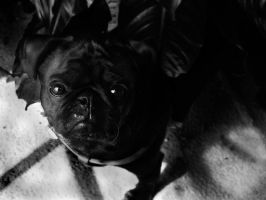 Please Says the Pug by SprenklePhotography