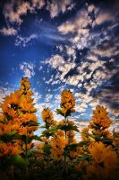 Yellow Loosestrife by Mizth