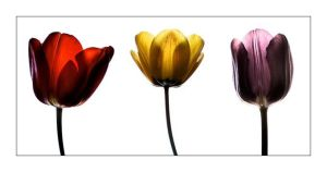 Tulips by Clearm