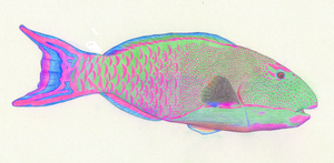Parrotfish by Shift-ing