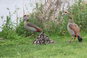 Goose mother and father and children by slingeraar