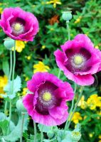 Pink Poppies by Mark-Allison
