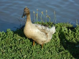Duck 008 - HB593200 by hb593200
