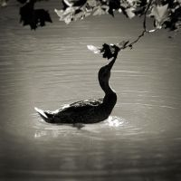 Duck by anjelicek
