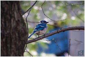Ft Tryon Bluejay4 by emailartist26