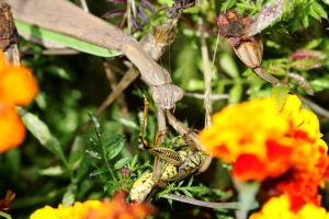 Mantis in Marigolds with Meal by fractalfiend