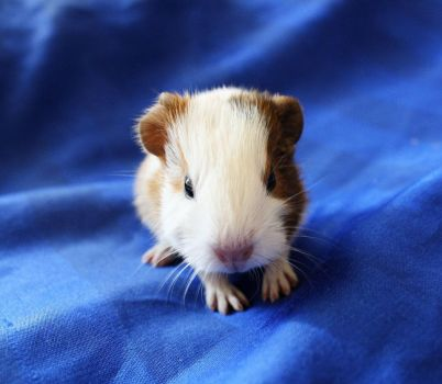Small guinea pig III by Athrian