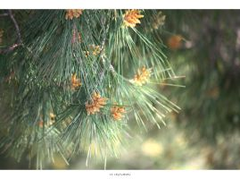 dust of pine by 13-septembre