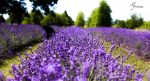 Lavender 4 by KingPinPhotography