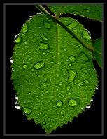 Rain Drops Thru Rose Leaves by andras120