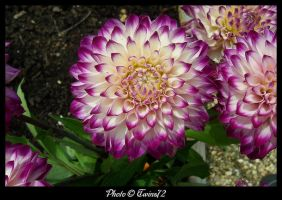 Flower 43 by Twins72