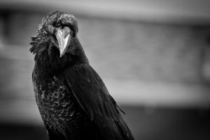 BW raven by copperarabian
