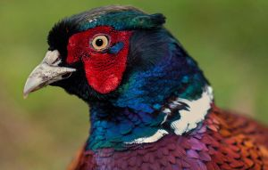 Male Pheasant by mant01