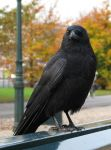 Crow 3 by dierat-stock