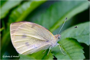 Cabbage Butterfly by CecilyAndreuArtwork