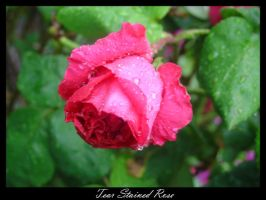 Tear Stained Rose by Tortured-Raven
