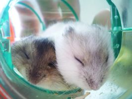 Hamsters in a snuggle by laposen