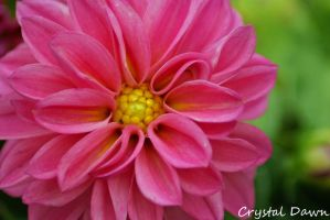 Pink Dahlia by poetcrystaldawn