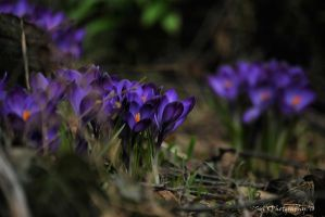 Crocus by WALKING-GIRL
