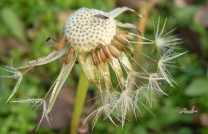 Dandelion, at the end of autumn by andi40