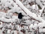 Blackbird in snow by Momotte2