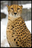Graceful Cheetah 2 by OrangeRoom