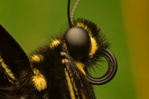 Face Of A Swallowtail by Brian-D