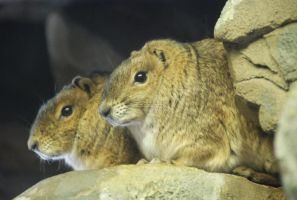 Rock Hyrax Stock by LightInAugust